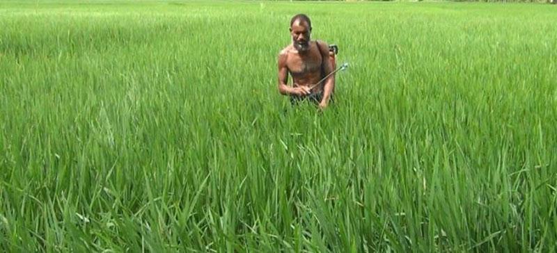 মৌলভীবাজারের কমলগঞ্জে আমন ধানে পোকার আক্রমণ দিশেহারা কৃষকেরা